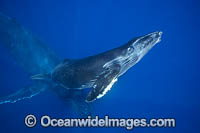 Humpback Whale mother and calf Photo - David Fleetham