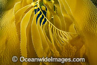 Giant Kelp Photo - David Fleetham