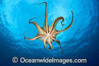 Day Octopus swimming photo