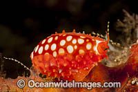Cowry Komodo Photo - David Fleetham