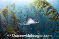 California Bat Ray in kelp forest Photo - David Fleetham