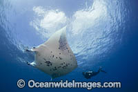 Diver and Manta Ray Photo - David Fleetham