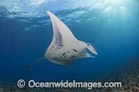 Manta Ray Manta alfredi Photo - David Fleetham