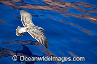 Western Gull Larus occidentalis Photo - David Fleetham