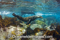 Guadalupe Fur Seal Photo - David Fleetham