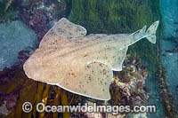 California Angel Shark Photo - David Fleetham