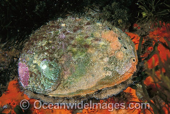 Blacklip Abalone (Haliotis rubra). Also known as Earshell. Highly prized by commercial fishery. South Eastern Australia