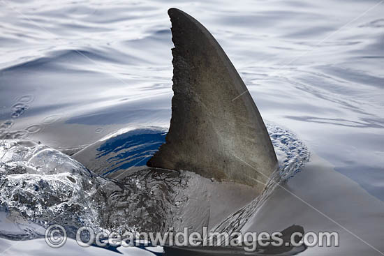 Great White Shark (Carcharodon carcharias), showing dorsal fin on surface. Guadalupe Island, Mexico. Photo - David Fleetham