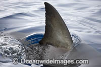 Great White Shark dorsal fin Photo - David Fleetham