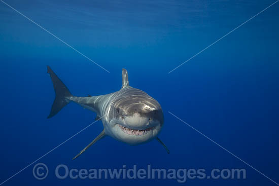Great White Shark (Carcharodon carcharias). Photo taken Guadalupe, Mexico. Also known as Great White, White Pointer, White Shark & White Death. Found in all major oceans of the world, but mostly temperate waters. Vulnerable Species on the IUCN Red List. Photo - David Fleetham