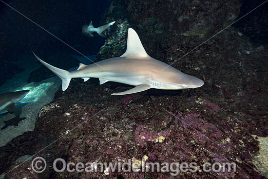 Sandbar Shark (Carcharhinus plumbeus). Also known as Thickskin Shark. Found in Tropical and Warm Temperate Seas of the world. Photo taken Hawaii, USA. Photo - David Fleetham