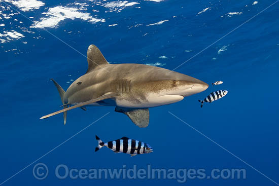 Oceanic Whitetip Shark (Carcharhinus longimanus). This pelagic shark is an aggressive species and is found worldwide in tropical and temperate seas. Hawaii, USA. Photo - David Fleetham