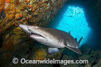 Grey Nurse Shark South West Rocks Photo - Gary Bell