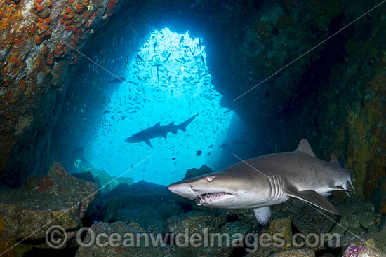Grey Nurse Shark (Carcharias taurus). Also known as Sand Tiger Shark in USA and Ragged-tooth Shark in South Africa. Photo taken at Fish Rock, South West Rocks, NSW, Australia. Vulnerable on IUCN Red List of Threatened Species. Photo - Gary Bell