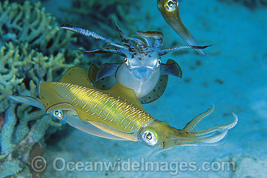 Courting Bigfin Reef Squid (Sepioteuthis lessoniana) - courting male and female pair. Great Barrier Reef, Queensland, Australia