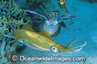 Courting Bigfin Reef Squid Photo - Gary Bell