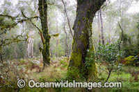 Gondwana Rainforest draped in moss photo