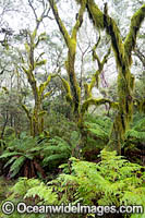Gondwana Rainforest draped in moss Photo - Gary Bell