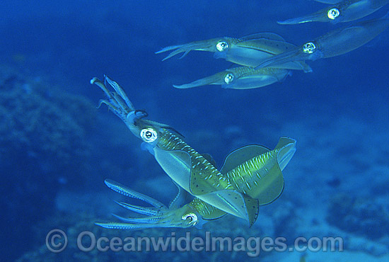 Bigfin Reef Squid (Sepioteuthis lessoniana) - male courting a squadron of females. Great Barrier Reef, Queensland, Australia