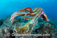 Giant Cuttlefish Coffs Harbour Photo - Gary Bell