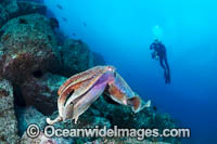 Diver with Giant Cuttlefish Photo - Gary Bell