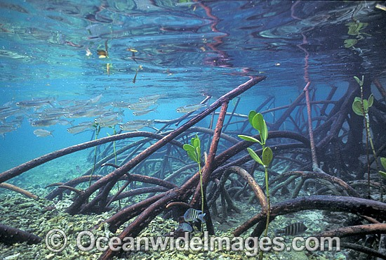 Schooling Anchovy (Engraulis australis) sheltering amongst Mangrove roots (Rhizophora stylosa) during high tide. Low Isle, Great Barrier Reef, Queensland, Australia