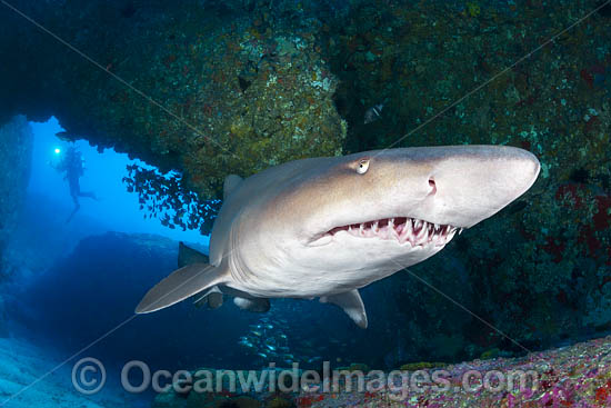 Grey Nurse Shark (Carcharias taurus). Also known as Sand Tiger Shark in USA and Ragged-tooth Shark in South Africa. Photo taken at Solitary Islands, NSW, Australia. Listed Vulnerable on IUCN Red List of Threatened Species. Photo - Gary Bell
