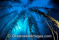 Scuba Diver in Giant Kelp Photo - Gary Bell