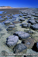Stromatolites single celled Blue-green Algae Photo - Gary Bell