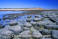 Stromatolites Blue-green Algae Hamelin Pool Photo - Gary Bell