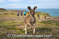 Eastern Grey Kangaroos Photo - Gary Bell
