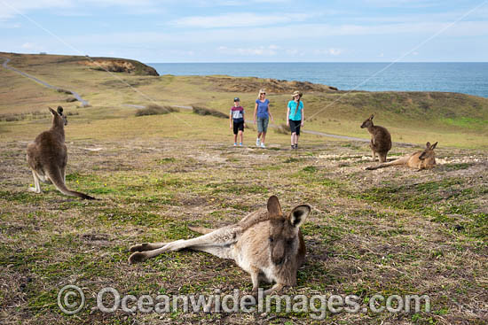 Eastern Grey Kangaroos (Macropus giganteus).  Look At Me Now Headland, New South Wales, Australia. Photo - Gary Bell
