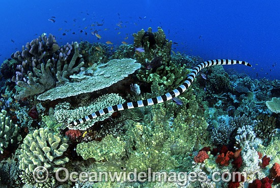 Banded Sea Snake (Laticauda colubrina) searching for prey. Also known as Banded Sea Krait. Indo-Pacific