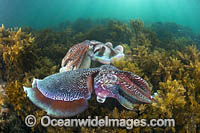 Giant Cuttlefish Whyalla photo