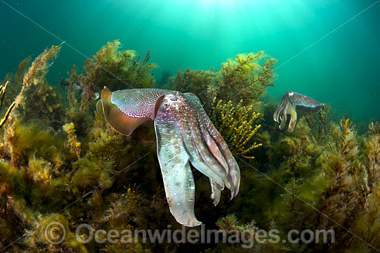 Australian Giant Cuttlefish (Sepia apama), during the winter annual breeding aggregation in Spencer Gulf, Whyalla, South Australia, Australia. Endemic to Australia. Photo - Gary Bell