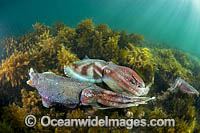 Giant Cuttlefish males rivalling photo