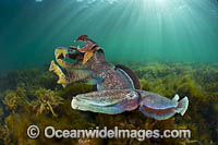 Giant Cuttlefish males rivalling Photo - Gary Bell