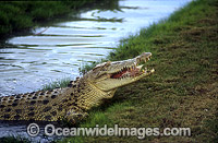 Estuarine Crocodile feeding Photo - Gary Bell