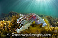 Giant Cuttlefish Whyalla Photo - Gary Bell