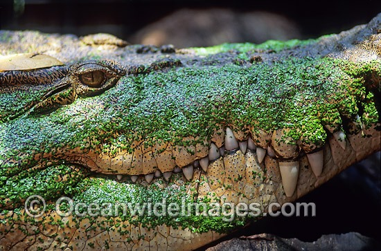 Estuarine Crocodile (Crocodylus porosus) covered in duck weed. Also known as Saltwater Crocodile. North Queensland, Australia