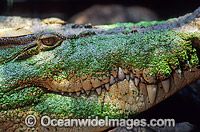 Estuarine Crocodile Crocodylus porosus Photo - Gary Bell