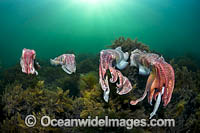 Giant Cuttlefish breeding Photo - Gary Bell