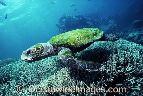 Loggerhead Sea Turtle (Caretta caretta) with carapace covered in Algae. Great Barrier Reef, Queensland, Australia. Found in tropical and warm temperate seas worldwide. Endangered species listed on IUCN Red list.