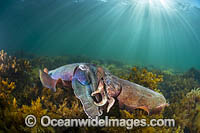 Giant Cuttlefish mating Photo - Gary Bell