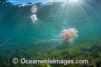 Jellyfish Cyanea rosella Photo - Gary Bell