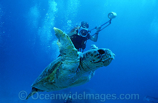 Scuba Diver photographing Loggerhead Sea Turtle (Caretta caretta). Heron Island, Great Barrier Reef, Queensland, Australia. Found in tropical and warm temperate seas worldwide. Endangered species listed on IUCN Red list.
