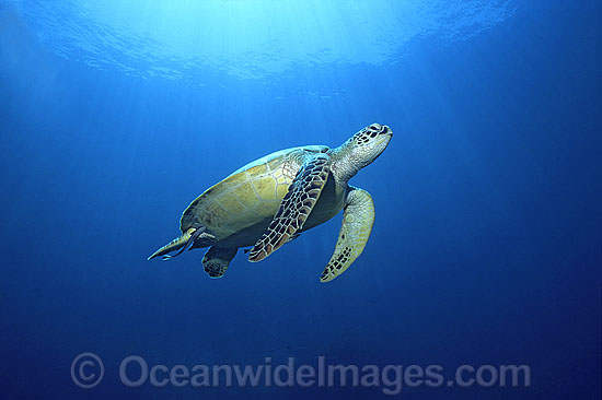 Green Sea Turtle (Chelonia mydas). Great Barrier Reef, Queensland, Australia. Found in tropical and warm temperate seas worldwide. Listed on the IUCN Red list as Endangered species. Photo - Gary Bell
