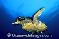 Green Sea Turtle Photo - Gary Bell