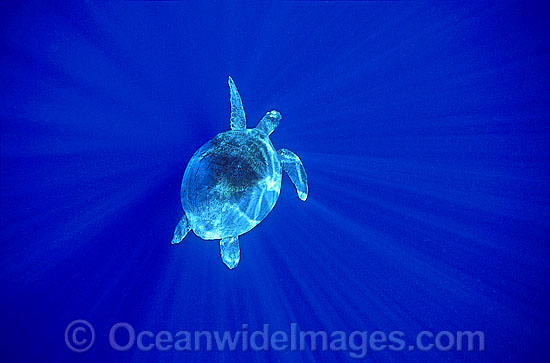 Green Sea Turtle (Chelonia mydas) in spiked sunrays. Great Barrier Reef, Queensland, Australia. Found in tropical and warm temperate seas worldwide. Listed on the IUCN Red list as Endangered species. Photo - Gary Bell