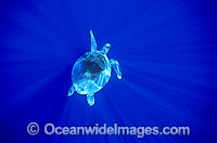 Green Sea Turtle in spiked sunrays